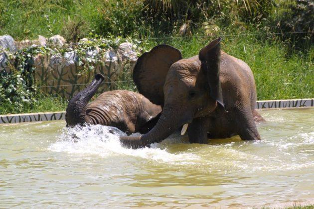Elephants, Zoo African Safari