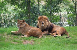 Lions, Zoo African Safari